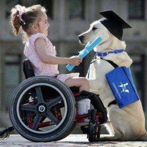 Mädchen in Rollstuhl gibt Zertifikat an weißen Labrador, der vor ihr kniet. Bildquelle Pinterest, Ursprung unbekannt.