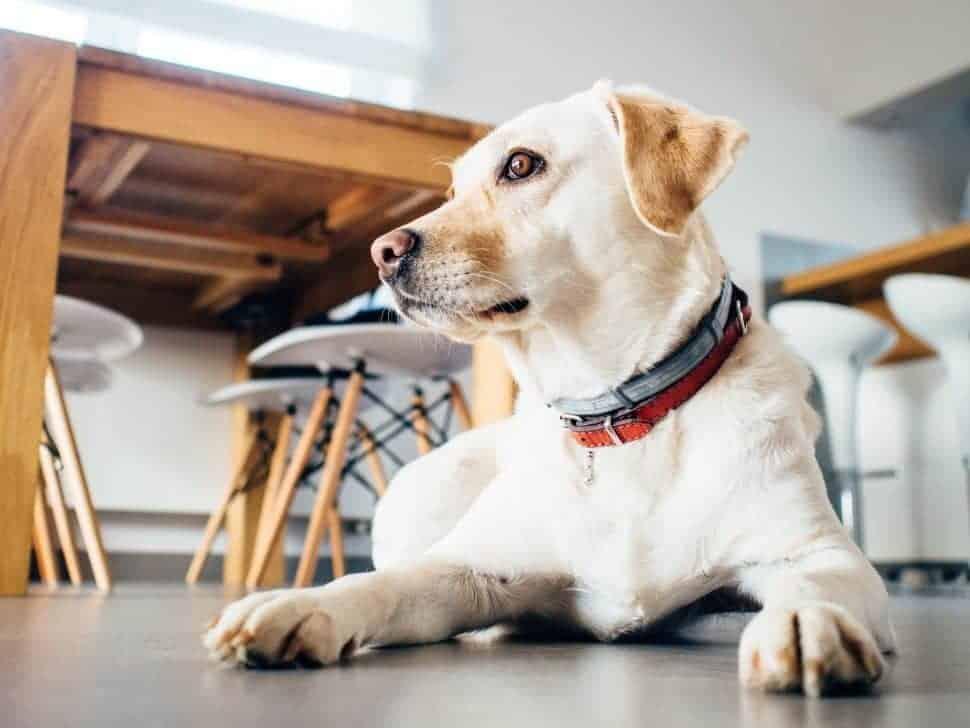Liegender heller Labrador