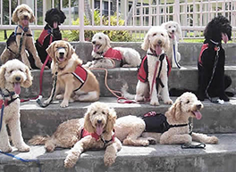 Ten assistance dogs sit relaxed on the stairs. Picture source cc Wikimedia