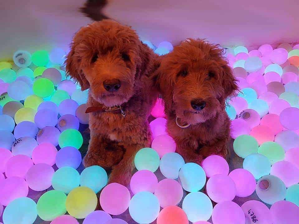 Foto Carlo & Inka im Lichterbad :: Die zwei hellbraunen jungen Hunde Carlo & Inka sitzen erwartungsvoll in einem See von bunt leuchtenden Lichterkugeln.