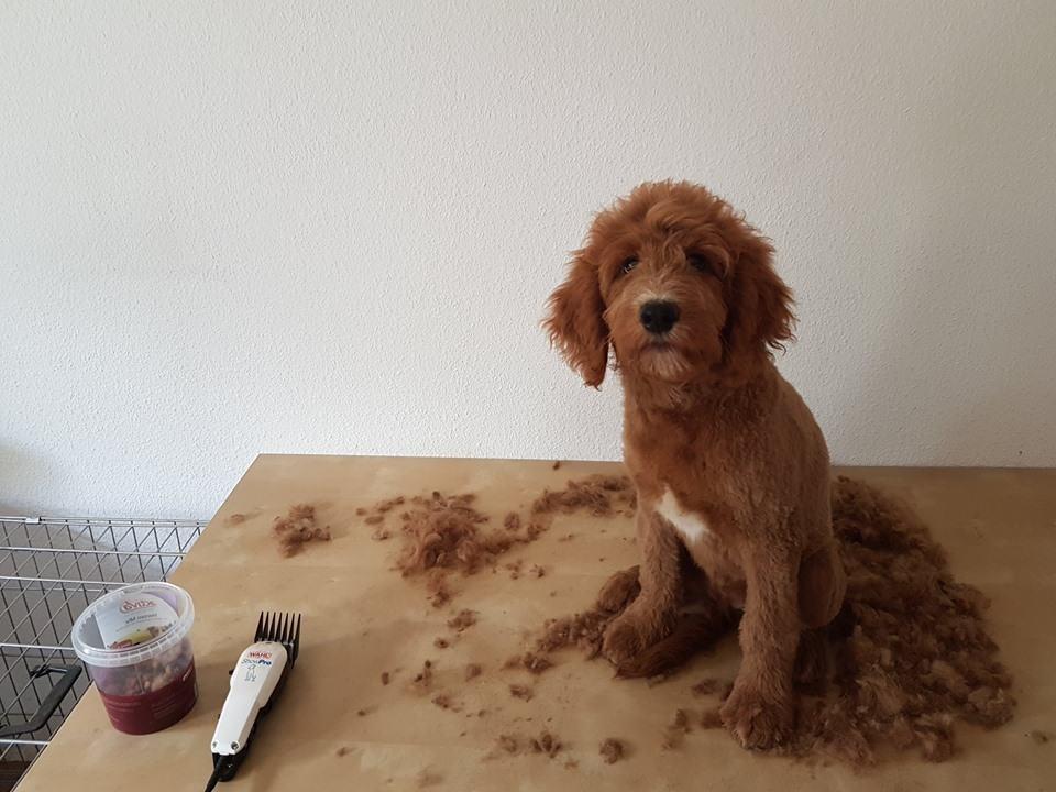 Foto Carlo wird geschoren :: Auf dem Foto sieht man wie Caro geschoren wurde. Caro sitzt auf einem Tisch und neben ihm liegt sein altes Fell und die Schermaschine für Hunde.