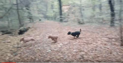 Foto im Wald spielende Hunde
