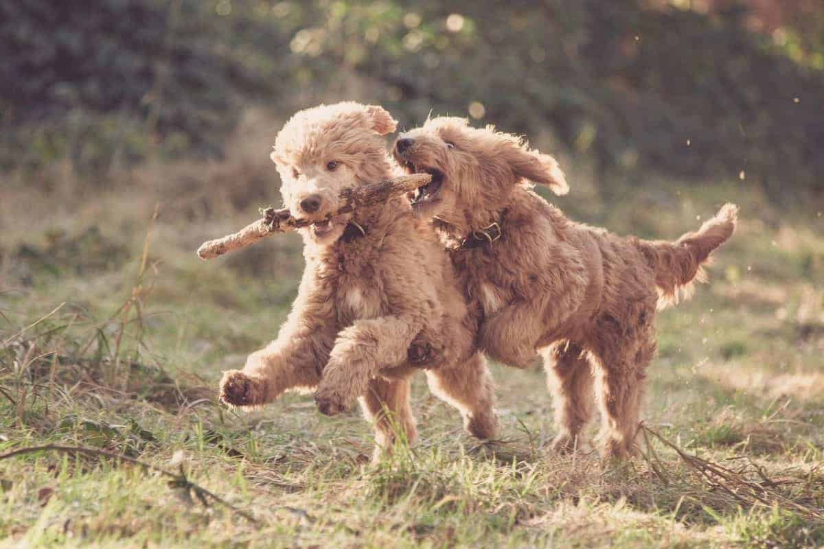 Photo two light brown playing dogs