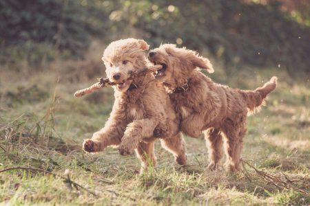 Foto zwei hellbraune spielende Hunde