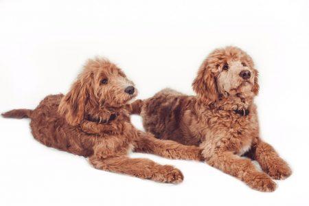 Foto zwei junge braune Hunde