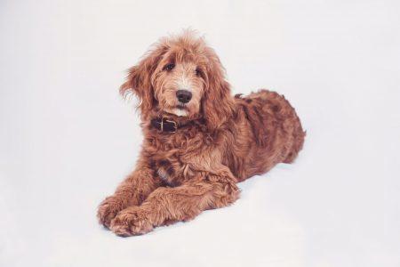 Foto brauner junger Hund