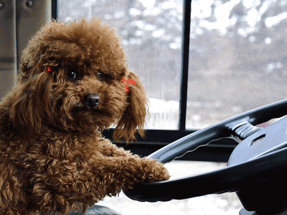 Puppy as bus driver