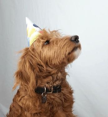 Labradoodle in Partylaune :: Orange-brauner Labradoodle trägt Partyhütchen und feierlichen Gesichtsausdruck.