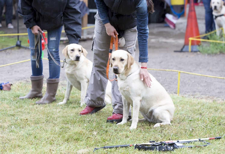 Zwei Blindenführhund-Teams in Ausbildung