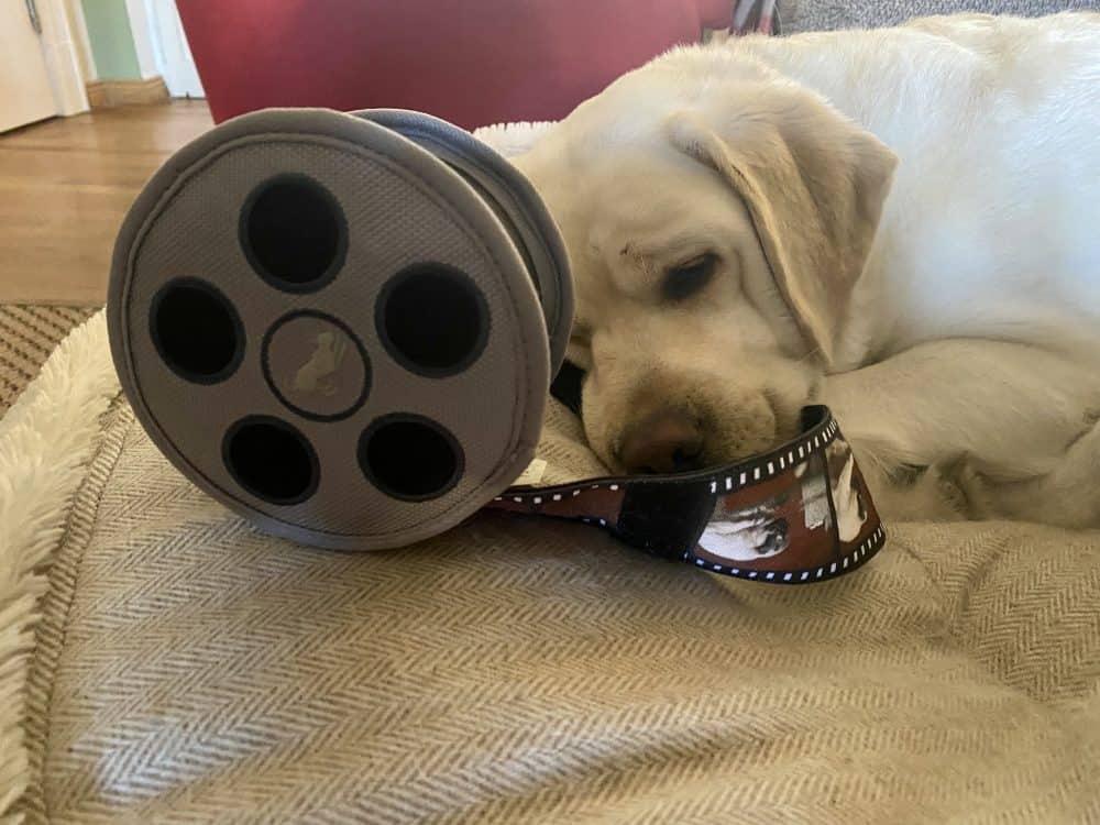Ein heller Labrador hat ein Hundespielzeug aus Plüsch, welches eine Filmrolle darstellt in der Schnauze und hat den Film z.T. abgerollt. Scheinbar träumt sie vom zukünftigen Assistenzhund Film, bei dem Sie eine wichtige Rolle spielt.